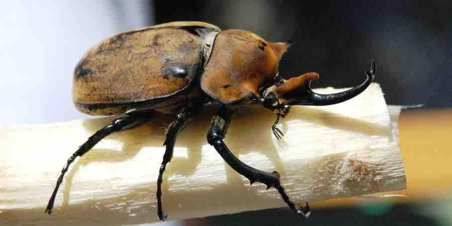 Escarabajo rinoceronte de jardín